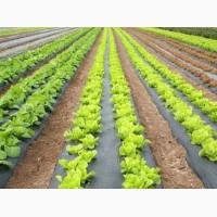 Продам салат зелений