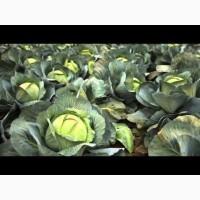 Продам капусту сорт сторідор.ціна 2.8 грн