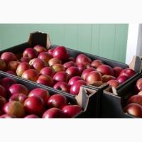Продам яблоки айдаред из Польши