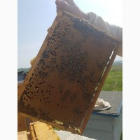 Бджолині-матки! (мічені) 2019 року Карпатка
