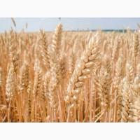 Продам Балатон(пшеница)
