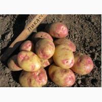 Продаем семенной картофель Пикассо I и II репродукции. Отправка по всей Украине