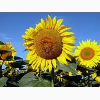 Семена подсолнечника Златсон 105-106 дней