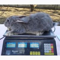 Продажа крольчат. Голубий білоостєвий