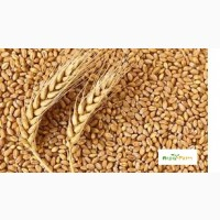 Озимая пшеница Октава Одесская, семена (элита ) урожай 2020 г