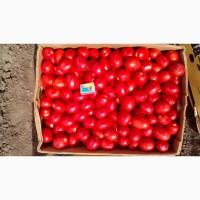 Продам помидор ОПТ