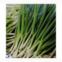 Лук зеленый на мясокомбинаты и пелемени
