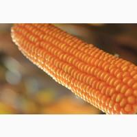 Семена кукурузы НК Гитаго