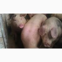Свині мясної породи полутушами мясо свиней або живою вагою