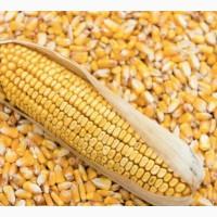 Кукуруза фуражная экспорт