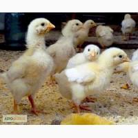 Суточные цыплята бройлер КОББ 500, из Венгерского яйца(фабричный)
