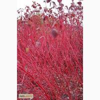 Саженцы: Свидина кровавокрасная, штамб-шар, готовые изгороди