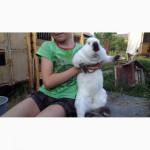 Продажа: племеннная порода кроликов - скороспелки калифорнийцы