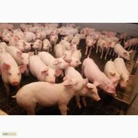Продам свиней и поросят живым весом