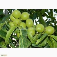 Саженцы грецкого ореха высокоурожайных сортов