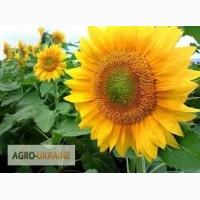 Продам семена раннего сорта подсолнечника (Крепыш, Мираж, СУР, Мир)