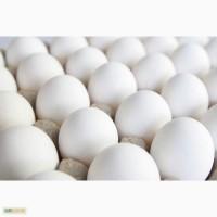 Продам Яйцо С2
