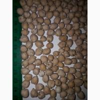 Продаем семена нута сорт Триумф