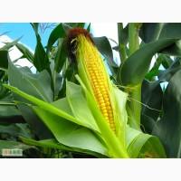 Битл ФАО 240 гибрид кукурузы продам