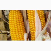 Продам Семена Кукурузы Подсолнечника