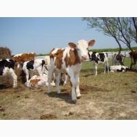 Закуповуемо Бычки телята телки корова, Дорого