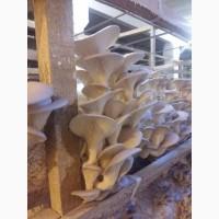 Продам грибы Вешенка опт мелкий опт