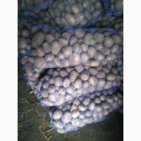 Продам домашний картофель 10 т, сорт Невский