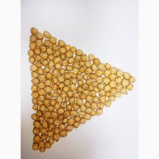 Нут семенной сорт Иордан (Израиль)
