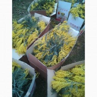 Цветок - Мимоза опт (Грузия)