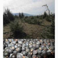 Можжевельник обыкновенный Juniperus Верес ягоды шишкоягоды