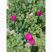 Куплю пелюстки троянди сушені (лепестки розьі сухие)