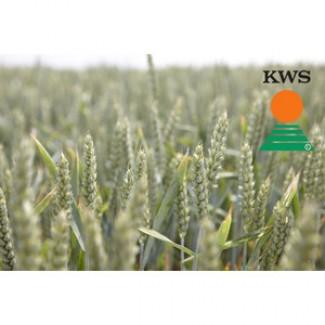 Продам продовольственную пшеницу