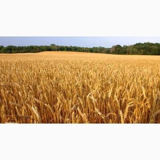 Семена импортной озимой пшеницы
