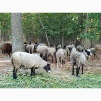 Бараны племенные Романовской породы, чистокровные