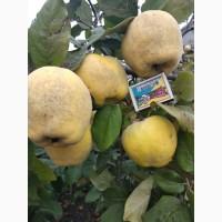 Продам плоды айвы