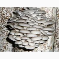 Продам грибы вешенка собственное производство