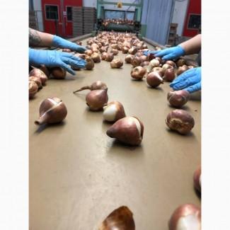 Продам Луковицы тюльпанов оптом