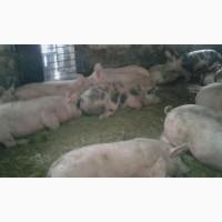Свиньи живым весом (Пьетрен; Макстер)