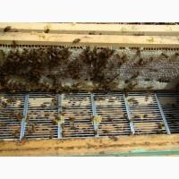 Пчеломатки - 2019 - Плодные- неплодные пчеломатки - Карпатка