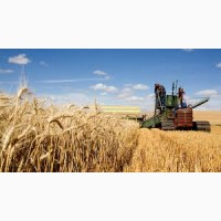 Предприятие закупает пшеницу