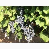 Продам столовый виноград с поля