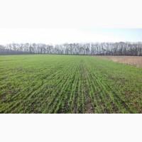 Продам насіння безостої озимої пшениці сорту БОГДАНА