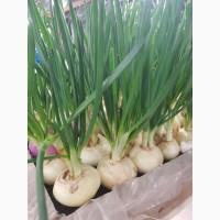 Продам зелень укропа, петрушки, перо лука