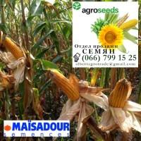 Гибрид кукурузы PLEVEN. Agroseeds/Агротрейд