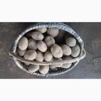 Продам картоплю, сорти Бріз, Гала, Скарб. Можливий продаж партіями по 2-3 тони