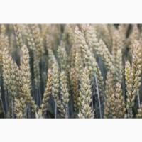 Посівний матеріал озимої пшениці БОГЕМІЯ(1репродукція)
