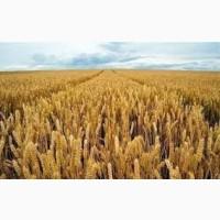 Насіння твердої пшениці озимої Гардемарин
