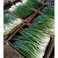 Зелёный лук-перо