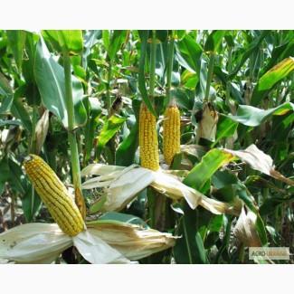 Продам насіння кукурудзи Гран 220