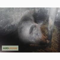 Продам свиней мангал
